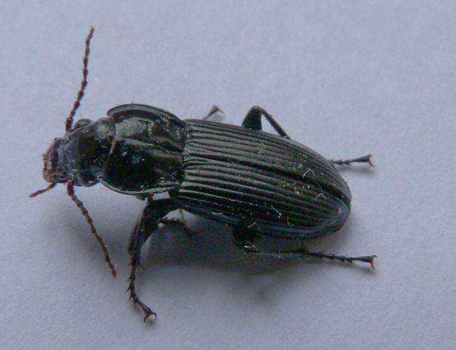 [Pterostichus (Morphnosoma) melanarius] coléo envahissant 19.36