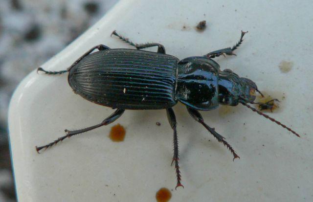 [Pterostichus (Morphnosoma) melanarius] coléo envahissant 19.59
