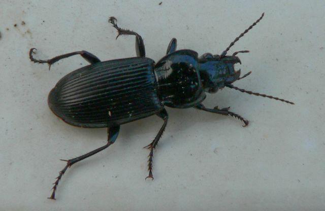 [Pterostichus (Morphnosoma) melanarius] coléo envahissant 19.60