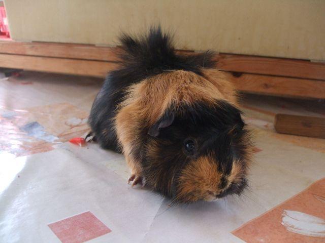 3 femelles cochons d'inde à vendre avec cage 03.101