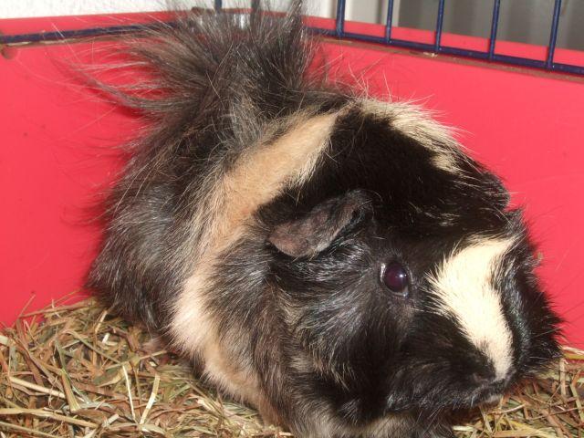 3 femelles cochons d'inde à vendre avec cage 03.103