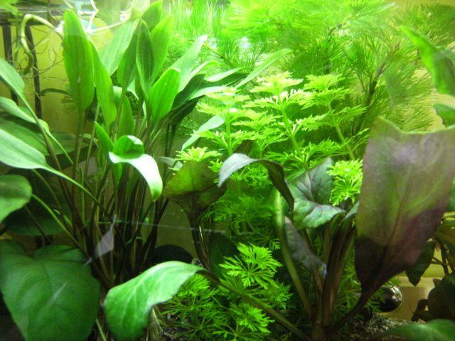 Aquarium Betta Smaragdina 20.152