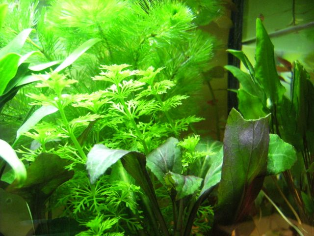 Aquarium Betta Smaragdina 20.153