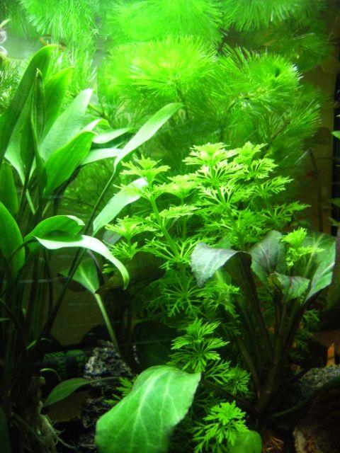 Aquarium Betta Smaragdina 20.155