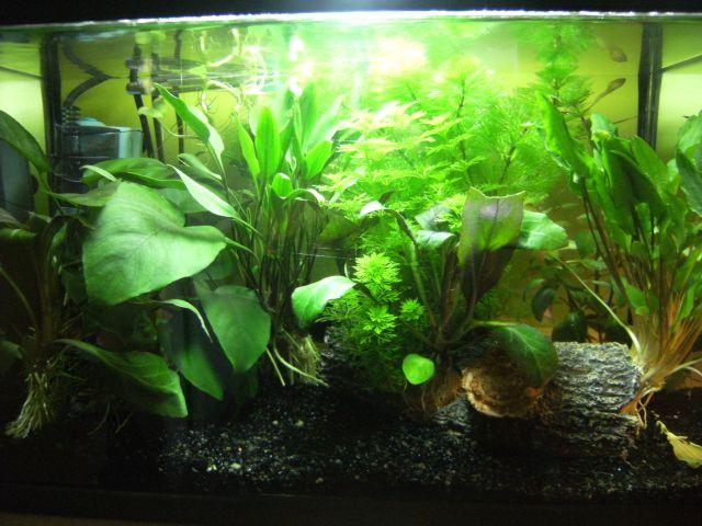Aquarium Betta Smaragdina 20.160