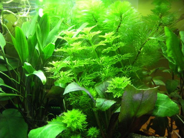 Aquarium Betta Smaragdina 20.161