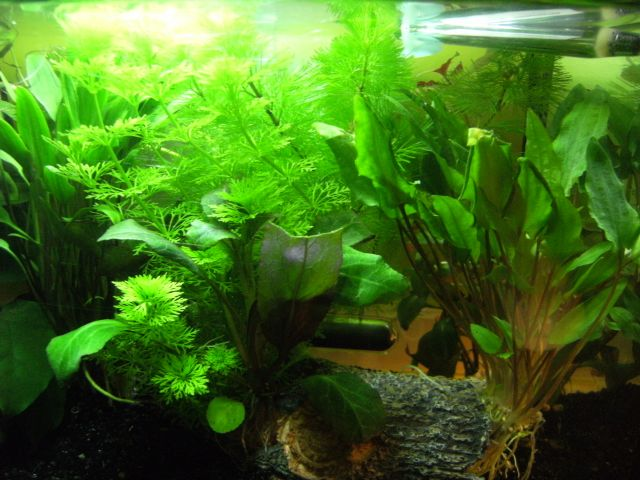 Aquarium Betta Smaragdina 20.162