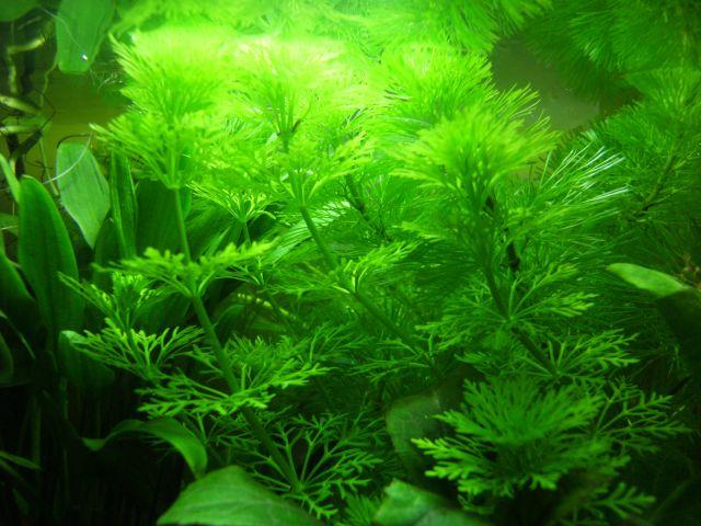 Aquarium Betta Smaragdina 20.165