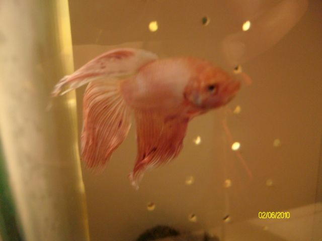 [Vends] 2 Bettas Splendens Mâles. 02.71