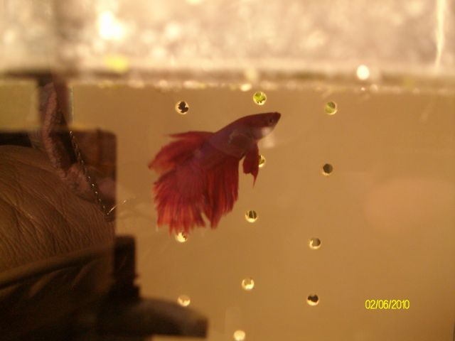 [Vends] 2 Bettas Splendens Mâles. 02.73