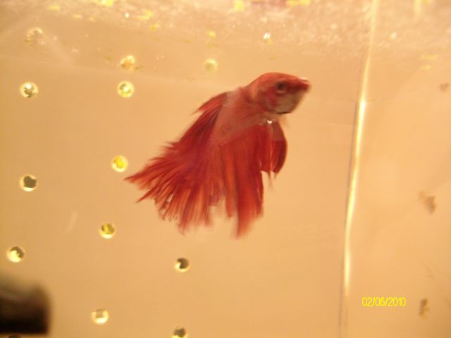 [Vends] 2 Bettas Splendens Mâles. 02.74