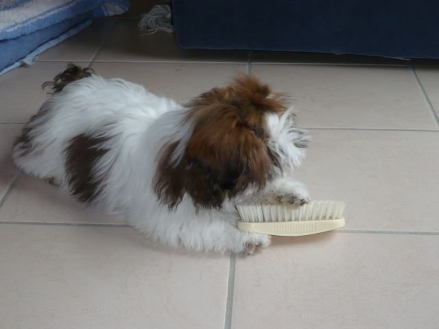 Pipi forum de discussion sp cialis sur le shih tzu une for Pipi de chien sur carrelage