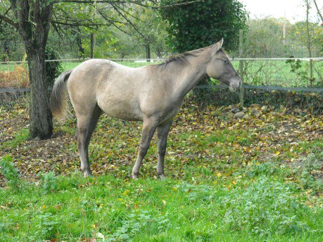 Silver Appaloosa 18 mois 15.386