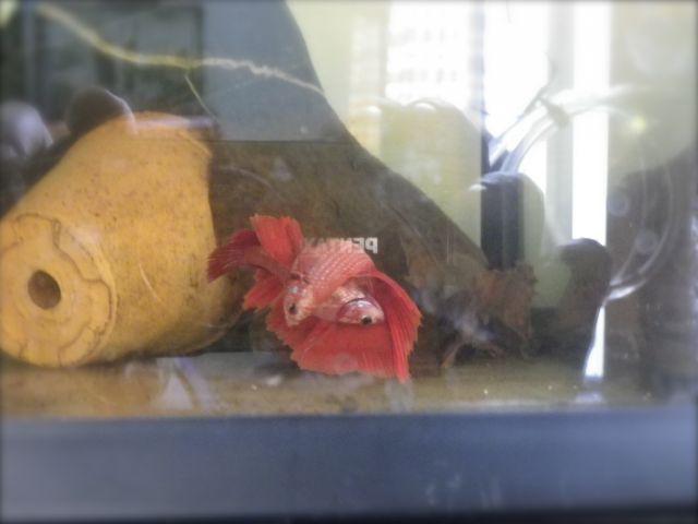 Ma seconde repro voiles longs HM (mâle HMDT) rouge 09.454