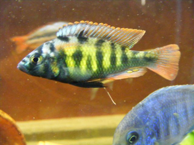 Haplochromis obliquidens 15.159