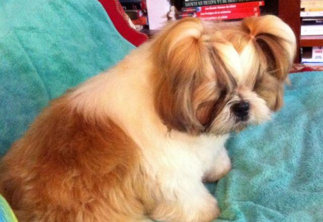 Gina change de coupe forum de discussion sp cialis sur le shih tzu une race de chien tibetain - Changer de coupe ...