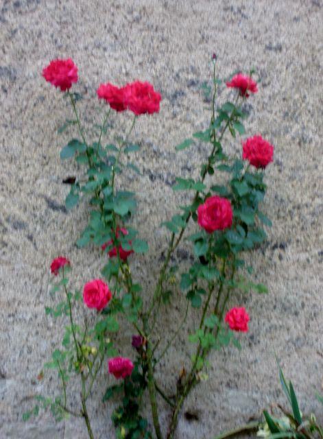rosiers en aout 2013 07.85