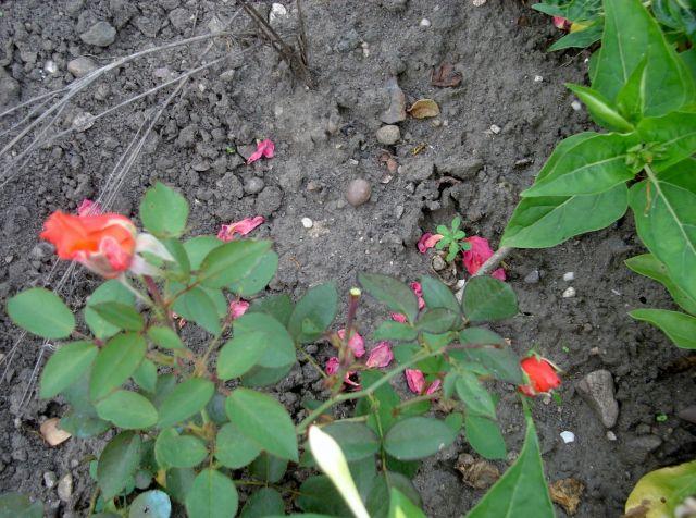 rosiers en aout 2013 07.88