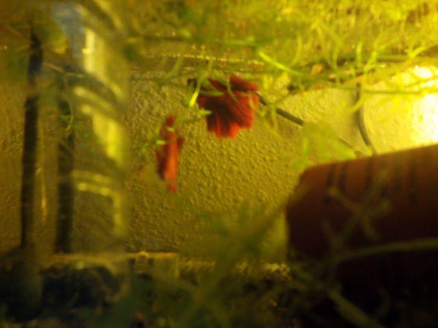 repro HM red géno DT 04.54