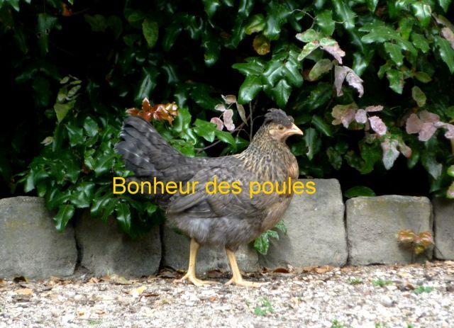 Achat Poules 13.4